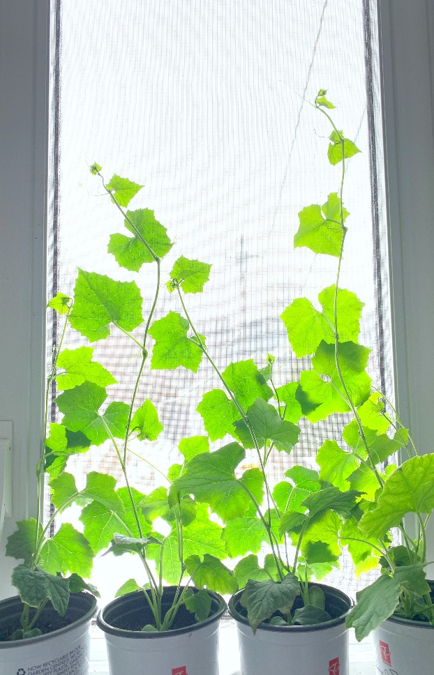 Loofa plants climbing up the window indoors in winter.