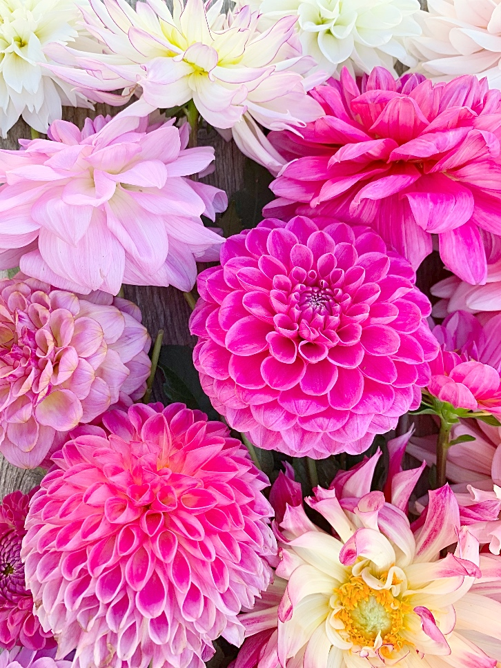 Different pink varieties of dahlias