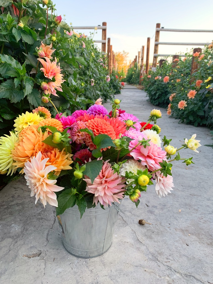 A pail of freshly cut dahlias on a path in a dahlia garden.