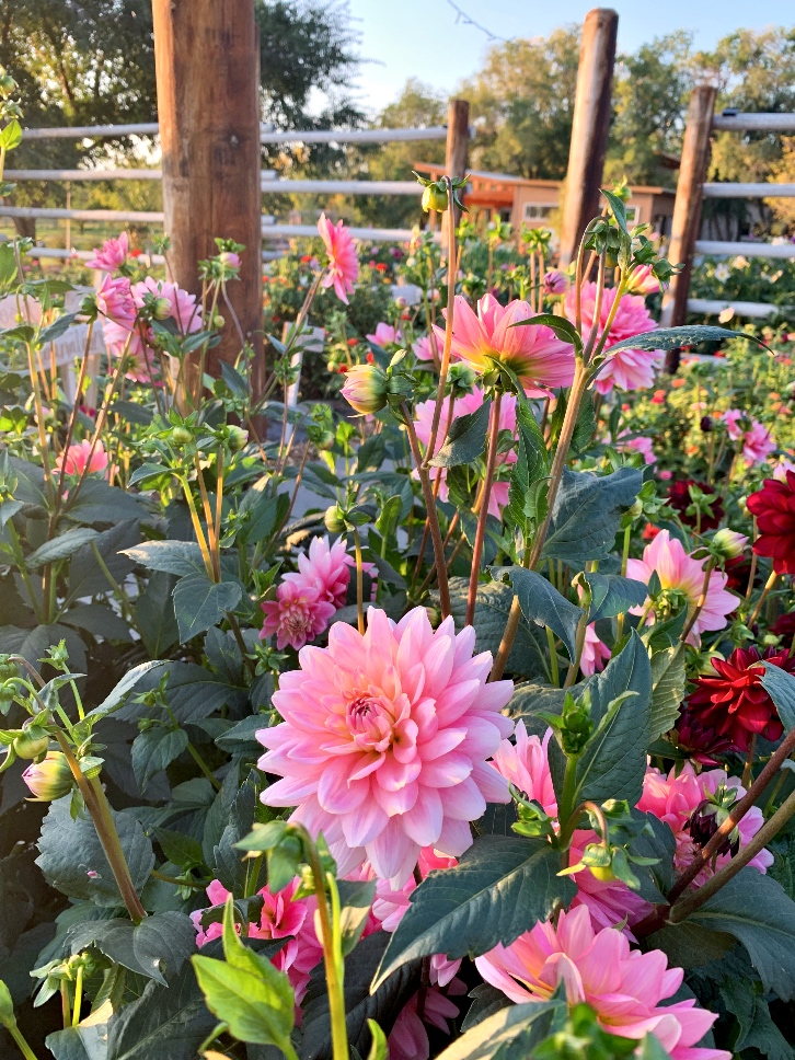 Pink dahlias grown in a field