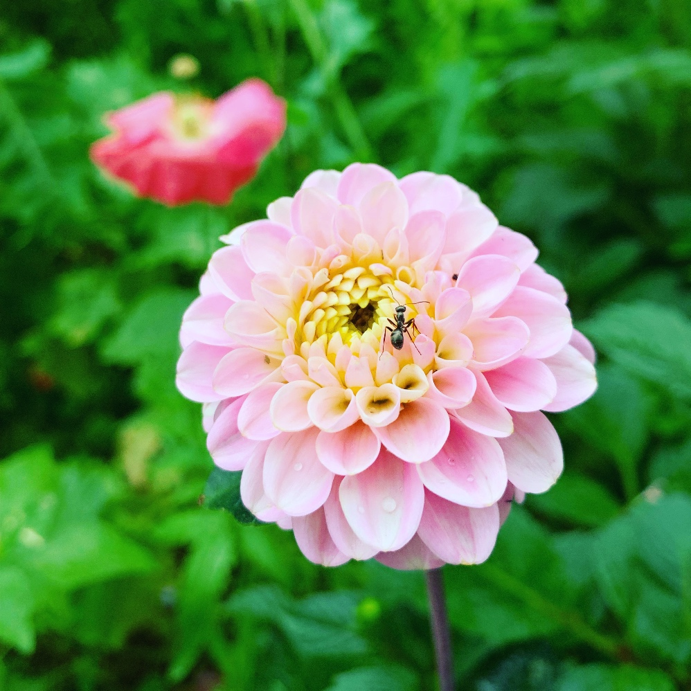 Wizard of Oz Dahlia, light pink with yellow centre, small and pom sized.