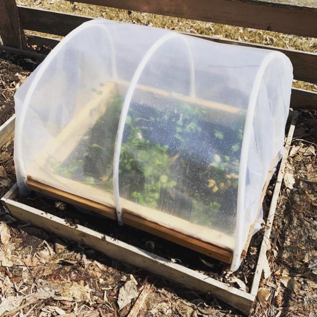 Ranunculus seedlings in a hoop house grown in zone 3, Saskatoon SK