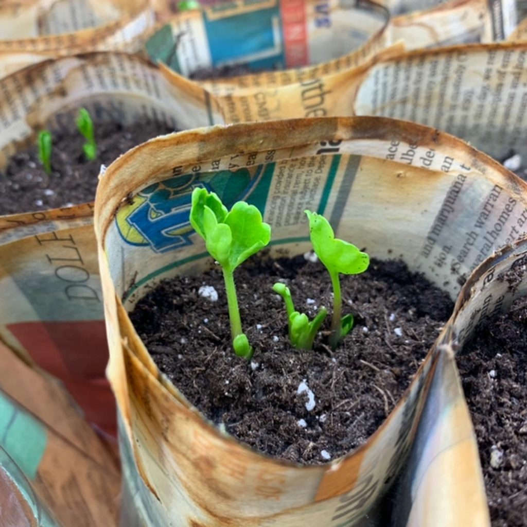 ranunculus greens poking through the soil.
