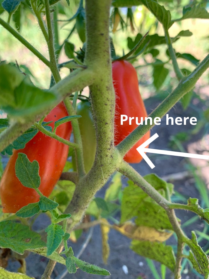 Roma tomato plant with an arrow pointing to the sucker that should be pruned.