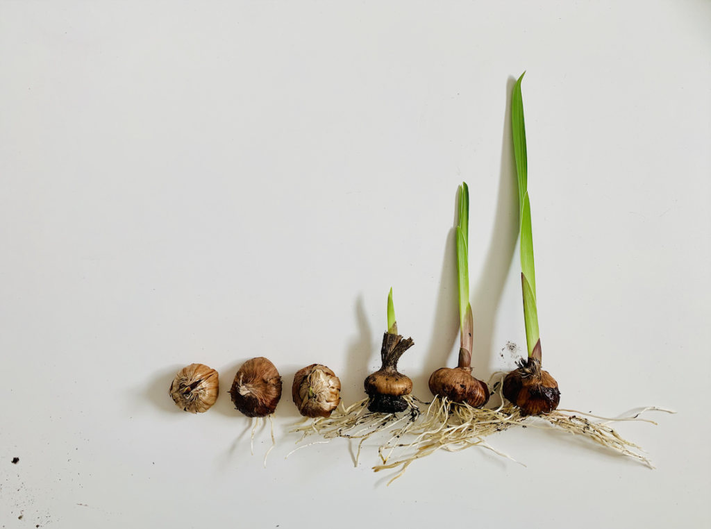 A progression of 6 gladiolus corms, from simple corm, to various root growth, to leaf growth, to ready to plant glad.