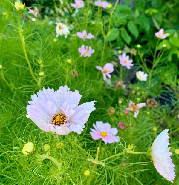 white cupcake cosmos with hints of pink