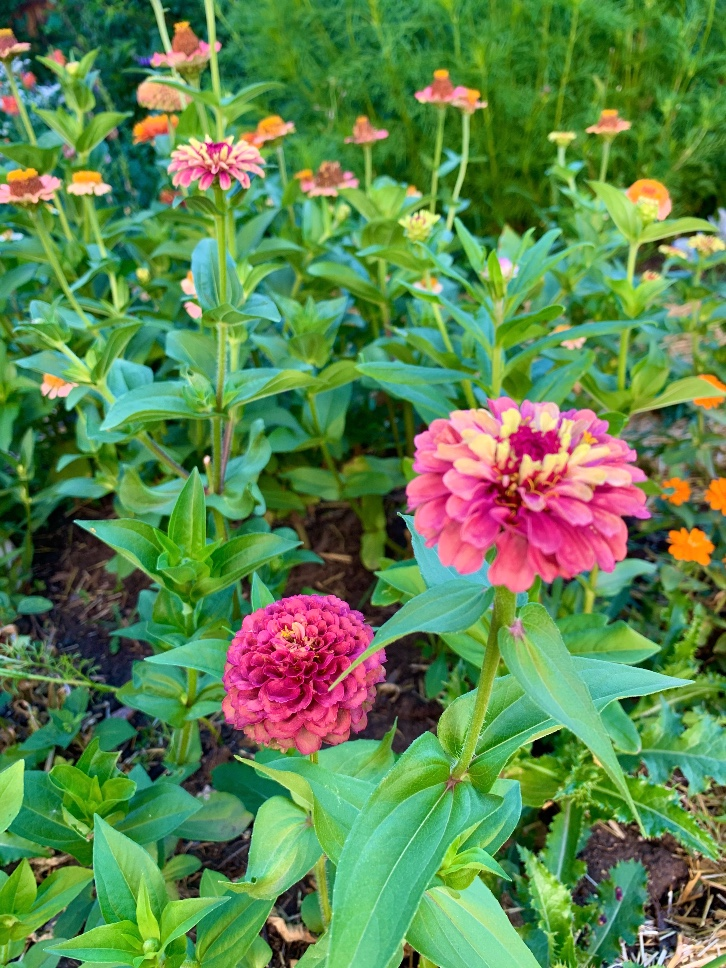 Queen Lime Red Zinnias that can be pinched for more blooms.